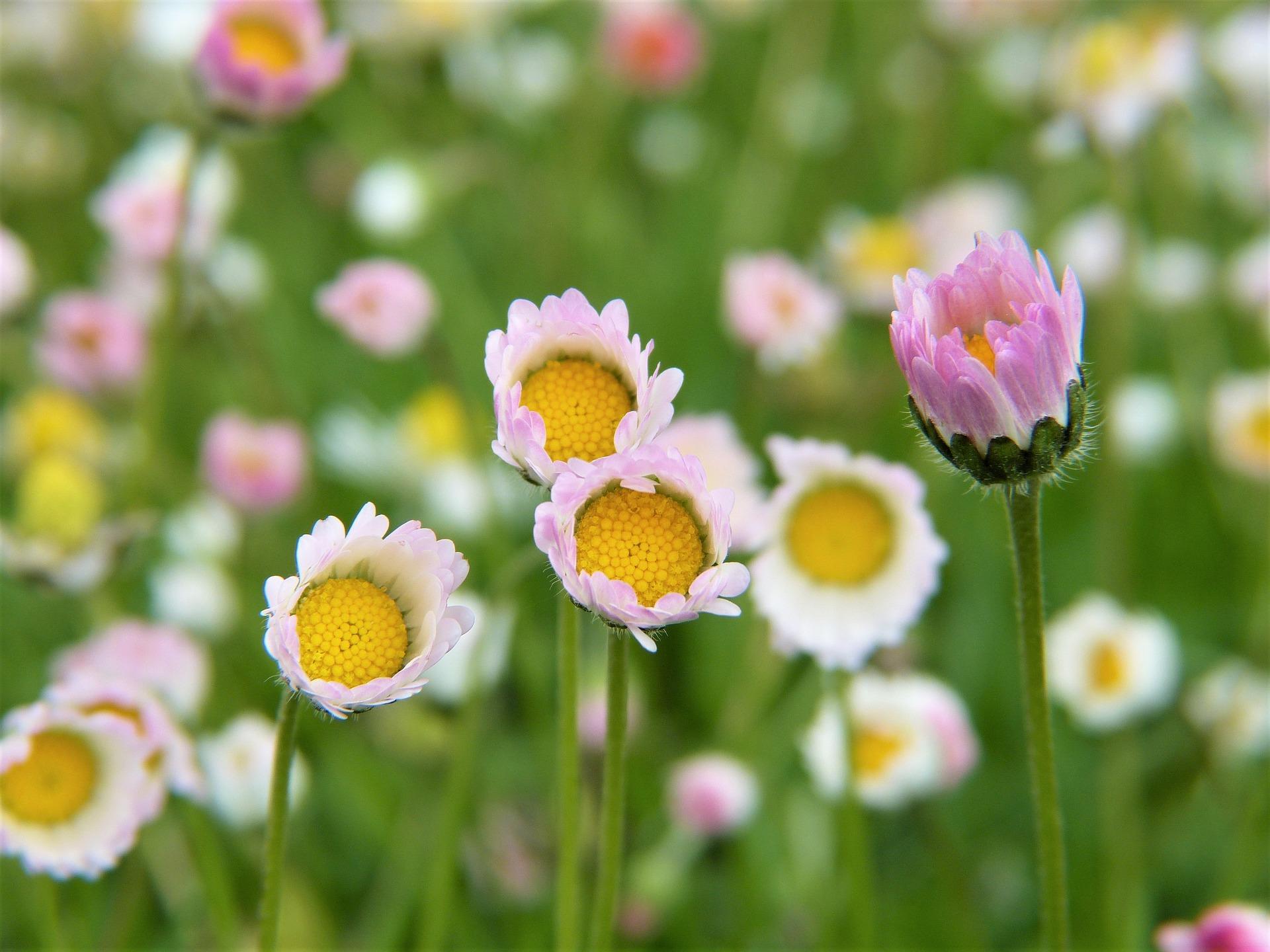 daisy-2232604_1920